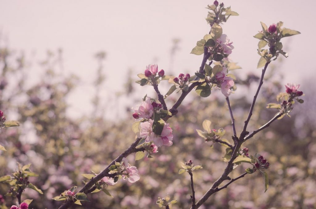 Springtime blossom detail at the apple orchard