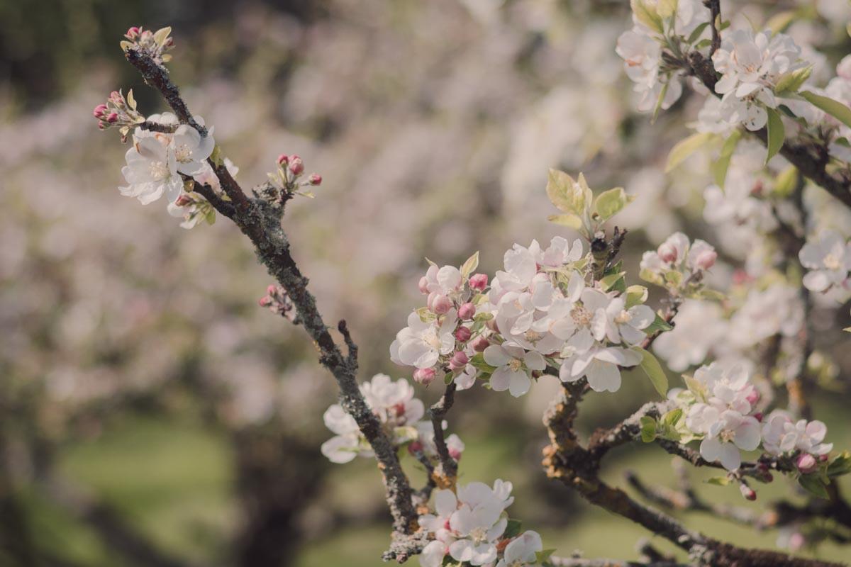 Pretty white apple blossom in spring